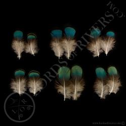 dindon-ocelle-mixe-de-plumes-de-corps