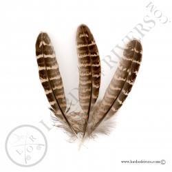 poule-faisane-commune-plumes-d-ailes-lor