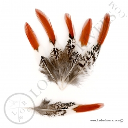 faisan-lady-amherst-plumes-de-laterales-