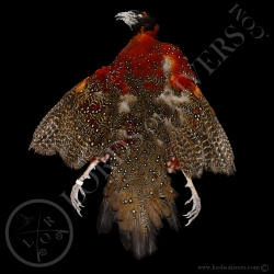 tragopan-satyr-full-skin-lords-of-rivers