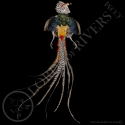 lady-amherst-pheasant-full-skin-lords-of