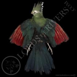 touraco-vert-full-skin-peau-complete-lor