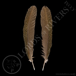 faisan-argus-femelle-quot-secondary-wing
