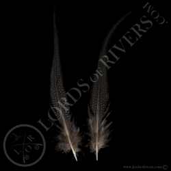vulturine-guineafowl-paired-tails-feathe