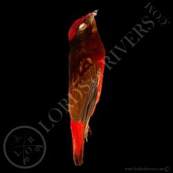 guianan-red-cotinga-full-skin-lords-of-r