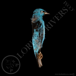 dacnis-blue-full-skin-lords-of-rivers