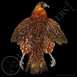 tragopan-de-temminck-full-skin-lords-of-