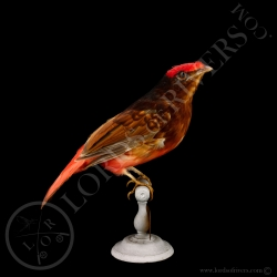 guianan-red-cotinga-full-skin-taxidermie