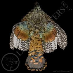 dindon-ocelle-femelle-full-skin-peau-com
