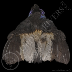 grey-winged-trumpeter-full-skin-lords-of