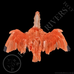 scarlet-ibis-full-skin-lords-of-rivers