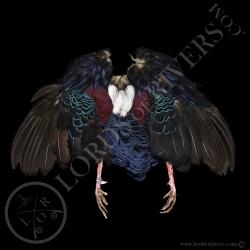 swinhoe-pheasant-full-skin-lords-of-rive