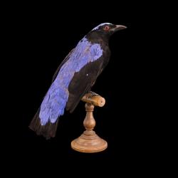 fairy-bluebird-full-skin-taxidermy