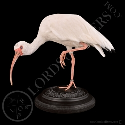ibis-blanc-taxidermie-lords-of-rivers