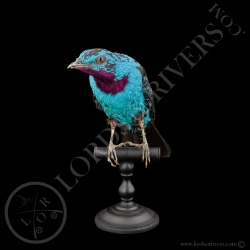cotinga-cayana-taxidermie-full-skin-lord