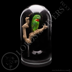 blue-crowned-hanging-parrot-taxidermy-lo