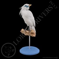 bali-myana-rothschild-starling-taxidermy