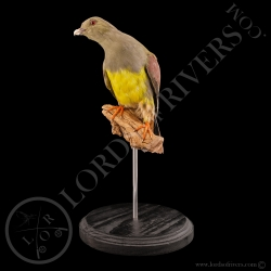 bruce-s-green-pigeon-taxidermy-lords-of-